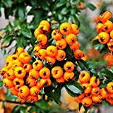 TENGGO Egrow 100Pcs/Bolsa Pyracantha Semillas Fruta Semillas Pyracantha Amarilla Fortuneana Firethorn Árbol perenne Bonsai Semillas Ornamental para Plantas de jardín