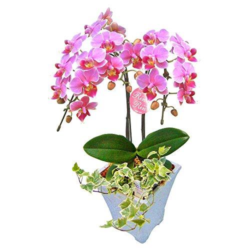 胡蝶蘭 ギフト 5号鉢 2本立 観葉寄せ ピンク/ラッピング&メッセージ無料花のプレゼント 生花 鉢植え 開店祝いに 母の日 父の日 敬老の日 おじいちゃん おばあちゃん
