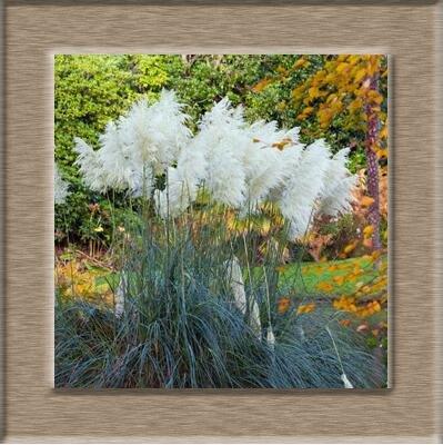 100pcs/lot Pampas Graines de gazon Patio et jardin des plantes ornementales en pot New Fleurs (Rose Jaune Violet Blanc) Cortaderia herbe 2