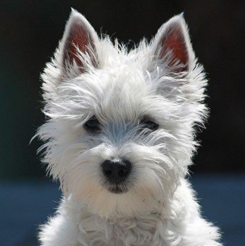 Westie Birthday Card Birthday Glitz West Highland White Terrier Greeting Card