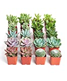 Shop Succulents | Unique Collection | Assortment of Hand Selected, Fully Rooted Live Indoor Succulent Plants, 20-Pack