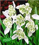 BALDUR Garten Schneeglöckchen 'Flore Pleno', 10 Zwiebeln Galanthus