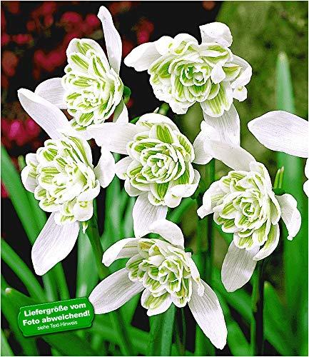 BALDUR-Garten Schneeglöckchen 'Flore Pleno', 10 Zwiebeln Galanthus