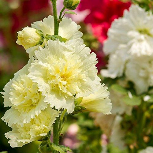 Rose trémière Summer Carnival Mix Graines - Althaea Rosea