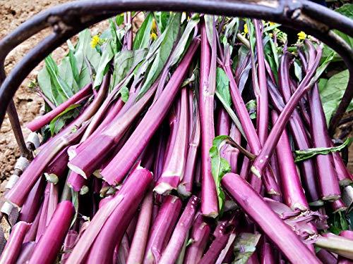 Semi di cavolo cinese rosso 40 semi di ogni confezione Semi di ortaggi Yun Moss Brassica Campestris
