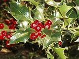 Inglese Agrifoglio, Ilex aquifolium, 60 Albero Seeds (Appariscente Evergreen, Hedge)