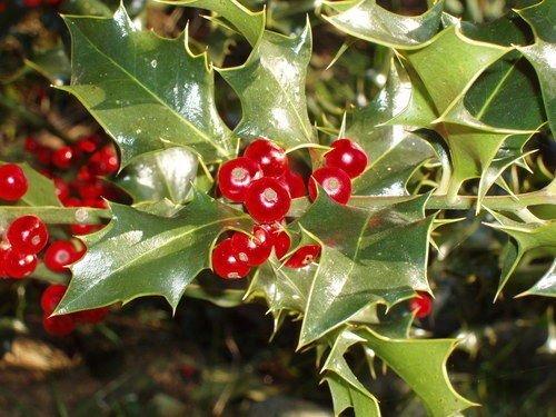 Houx, Ilex aquifolium, 60 graines d'arbres (Showy à feuilles persistantes, couverture)
