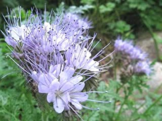 Lacy Fiddleneck Phacelia Purple Tansy Flower Seeds for Home and Garden # LKY