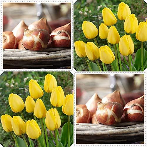 Bulbo di tulipano ,Romantico tulipano giallo bulbi San Valentino ora natura vacanza regalo bouquet-5 Bulbi