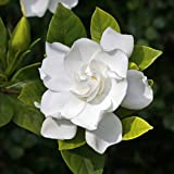 NurseryNature Gardenia Ananta Dwarf Plant Please Check Seller Name to be NurseryNature all other sellers are fake