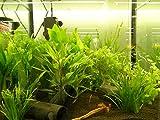 Mühlan Topartikel- Wasserpflanzen 10 Bund ca. 70 Aquariumpflanzen