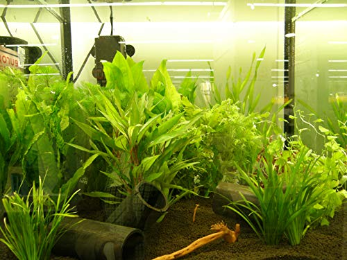 Mühlan – über 120 Aquarium-Pflanzen in 16 Bunde – großes farbiges Sortiment für 200 Liter Aquarium - 5