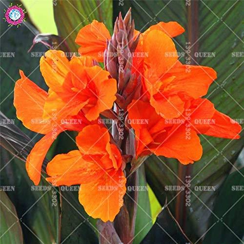 HONIC 5Pcs / Tasche Canna Bonsai Lily Pflanze Schöne Blumen-Garten-Blumen-Bonsais-Blume Bunte Blatt Pflanzenfamilie Garten Topf Bepflanzung: 8