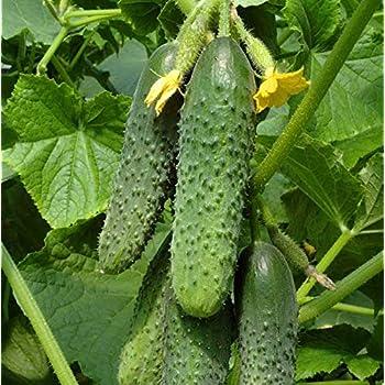 """Russian Cucumber /""""Alex F1/"""" Cucumber seeds from Russia"""