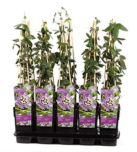 Lila Passionsblume - Passiflora caerulea Purple Haze - 60-80cm 2 Ltr. Topf