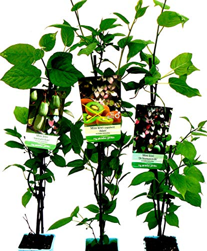 Sommerkiwi 3 Pflanzen Sibirische Kiwi, Actinidia kolomikta, Mini-Kiwi