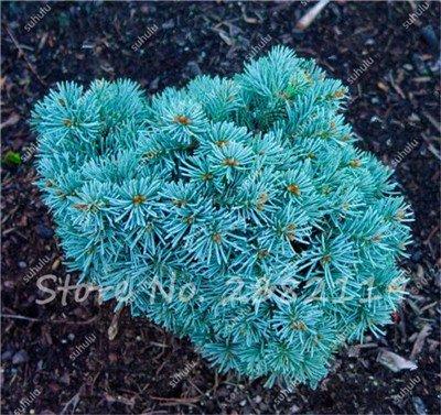 30 Pcs rares couleur coréenne sapin graines, Abies Koreana « Silberperle » Miniature coréenne Sapin Bonsai Fleur Arbre Jardin Plante en pot frais 22