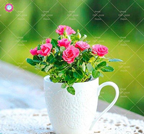 100 PCS Mini Rose Bonsai Miniature Rose Graines jardin Lumineux Belles fleurs en pot Graines vivaces Balcon Bonsai plantes 1