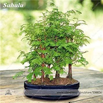 VISTARIC 5PCS Bonsai Olive Bonsai Baum (Olea europaea) Samen, Bonsai Mini Olivenbaum, Olive Bonsai frischen exotischen Baum Canarium album Seeds