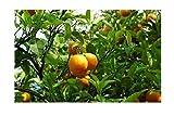 Mandarine Citrus reticulata Pflanze 5-10cm Mandarinenbaum Obstbaum Obstpflanze