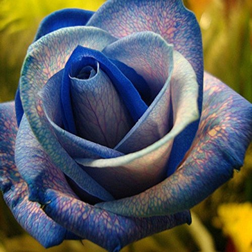 150PCS Rose Flower Seed Hollande Rose Graines amant cadeau arc-RARE 25 exotiques couleurs au choix de bricolage pour les plantes de jardin à domicile 3