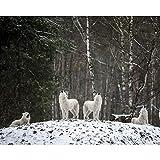 wtnhz Crest Star Arctic Wolf Tierwelt Novel Craft Kein Rahmen
