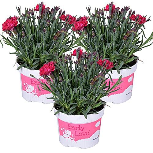 Nelke | Dianthus 'Early Love' pro 3 Stück - Freilandpflanze im Anzuchttopf ⌀10,5 cm - ↕15-20 cm