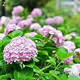 ypypiaol 50 Piezas De Semillas De Flores De Hortensia Jardín Al Aire Libre Bonsai Planta Perenne Decoración De Fiesta De Boda Rosado