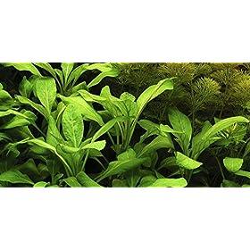 Tropica Aquarium Pflanze Lobelia cardinalis