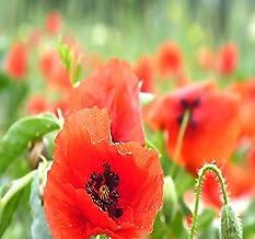 Big Pack - (50,000) Perennial Orange-Scarlet Oriental Poppy Flower Seeds - Papaver orientale - Non-GMO Seeds By MySeeds.Co...