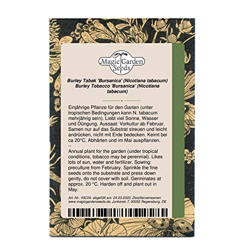 Burley Tabak 'Bursanica' (Nicotiana tabacum) 500 Samen