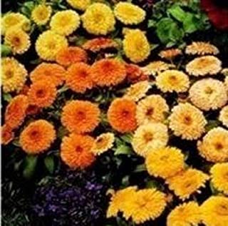 Calendula - Fiesta Gitana Superior Mixed - 50 Seeds