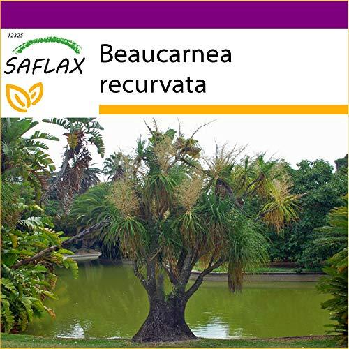 SAFLAX - Big Garden - Elefantenfuß/Flaschenbaum - 10 Samen - Mit Gewächshaus, Töpfen, Anzuchtsubstrat und Dünger - Beaucarnea recurvata