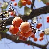 TOYHEART 50 Piezas De Semillas De Frutas De Primera Calidad, Semillas De Caqui Sin Pesticidas, Semillas De Suculentas De Caqui De Frutas Deliciosas Productivas para El Hogar Naranja