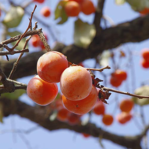 kaki fruit lidl