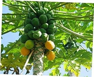 PIW 1 Papaya Live Plant, Juicy Orange Fresh Papaya - RK267
