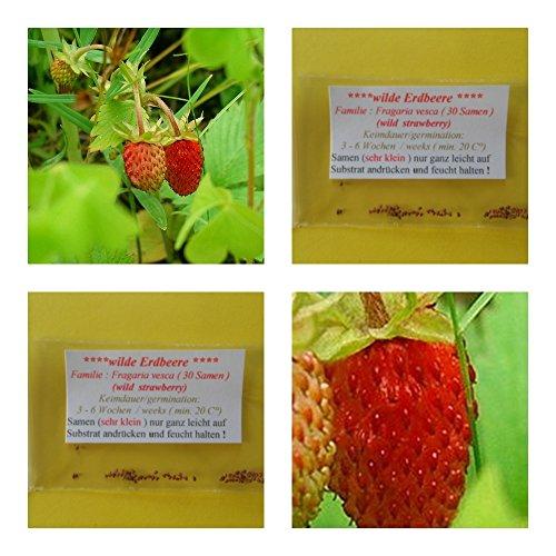 Walderdbeere (wilde Erdbeere)- ca. 30 Samen - aromatischer Geschmack - Rarität !!!