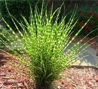 Miscanthus sinensis Zebrinus Zebra Grass jocad (20 Seeds)