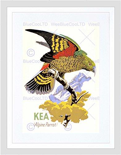 Wee Blue Coo Schilderij Kea Papegaai Nieuw-Zeeland Vogel Ornithologie Omlijst Muur Art Print