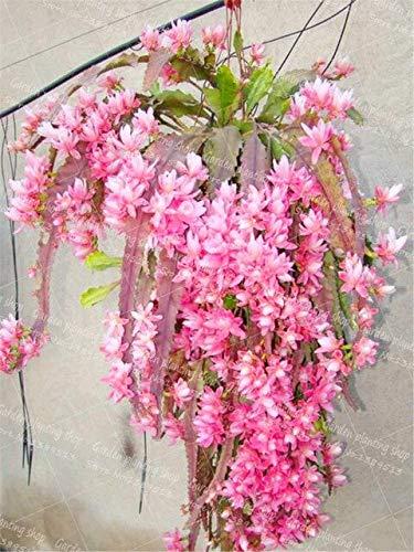 Ferry 100Pcs / Bag Crab Bonsai Pflanze Garten Blume Pflanze Orchideenfamilie Decorationn Topfpflanze Krebsschere Orchidee Pflanze: 4