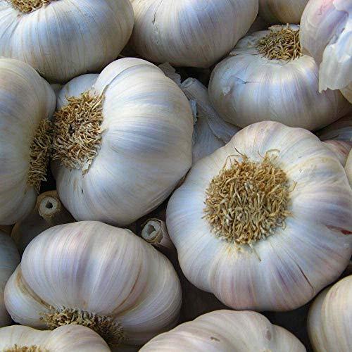 Garlic Seeds - Allium Sativum - Non GMO - Super Strong Fragrance Garlic - Easy to Grow - Refresh Soft Delicious - Garlic Seeds for Planting Outdoor - The Best Garlic Ever (50)