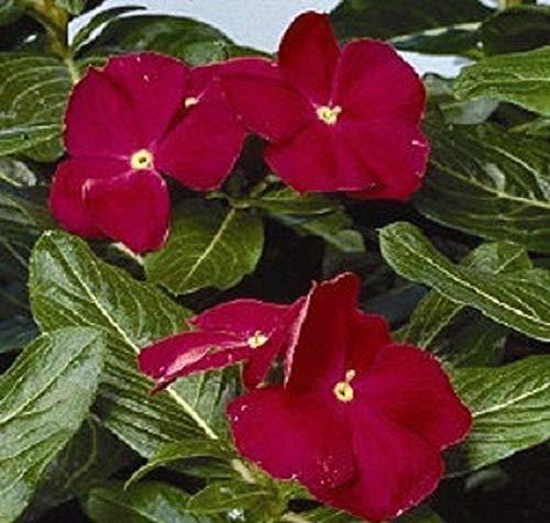 40+ Seeds_Flower Really Red Vinca - Periwinkle - Seeds_Flower.