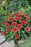 25 Gaillardia x grandiflora 'Arizona Red Shades',Indian Blanket flowers