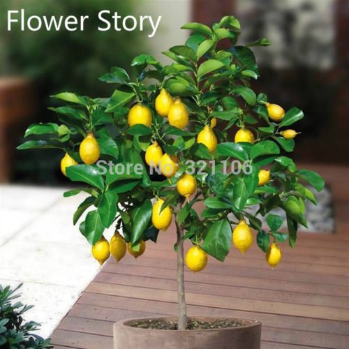 graines de fruits Dwarf Graines Lemon Tree, parfum naturel 30seeds intérieur