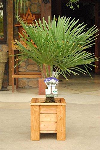 winterharte Palme Hanfpalme -18 °C trachycarpus fortunei palmen. (Gesamthöhe 40 cm)