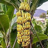 """Oldworldtropicals Banana Fruit Tree Musa """"Gran Nain"""" Live Tropical Plant"""