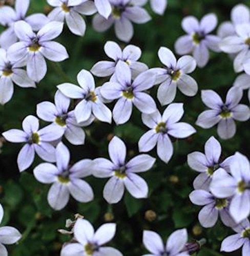 Pratia pedunculata hellblau im 9cm Topf gewachsen