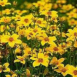 Bur Marigold - Tickseed - 70 SEEDS - Bidens Aurea - Hanging basket variety