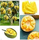AGROBITS Graines jacquier (Artocarpus altilis), Organic Fruit Tropical semences - 5Pcs