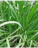 SEEDVALLEY Las Semillas de la Hierba de ajo cebollino